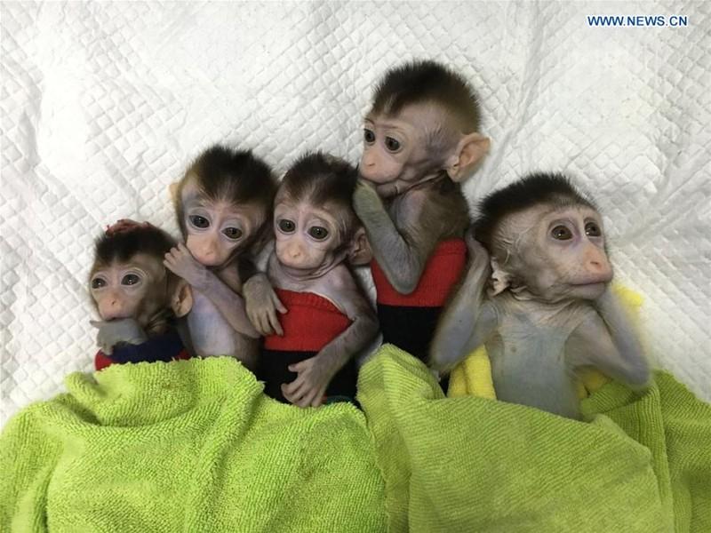 Los cinco monos clonados con trastornos del ritmo circadiano