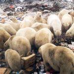 52 osos polares invaden una ciudad de Rusia para evitar morir de hambre comiendo basura