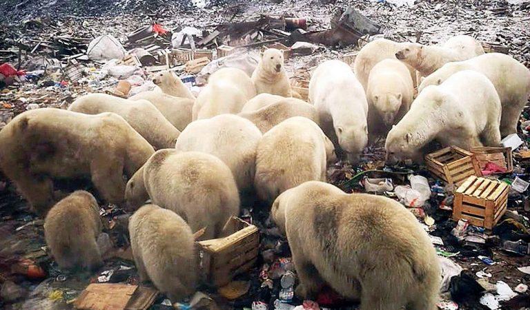 52 osos polares invaden una ciudad de Rusia para comer basura y no morir de hambre