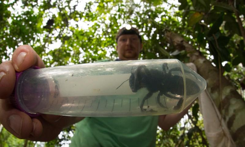 El entomólogo Eli Wyman fotografiado en enero de 2019 con el primer individuo redescubierto de la abeja gigante de Wallace, en North Moluccas