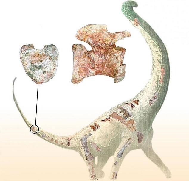 Representación artística que muestra el hueso con forma de corazón en la cola del dinosaurio y una selección de los huesos recuperados de su esqueleto