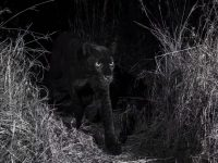 Hallan un leopardo negro extremadamente raro en África luego de 100 años