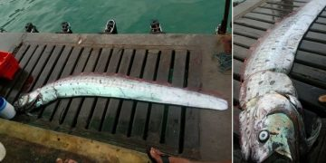 Hallan un pez remo en Perú, generando temores por terremoto