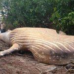 Hallan una ballena jorobada en plena selva amazónica y nadie sabe cómo llegó allí