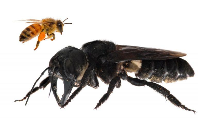 La abeja más grande del mundo y que se creía extinta es hallada en Indonesia