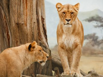 Leones en Namibia han comenzado a cazar y comer criaturas marinas
