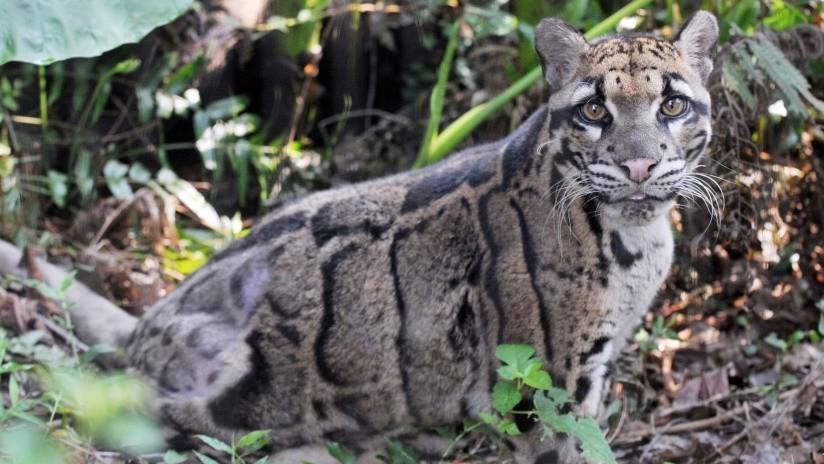 Un ejemplar de la especie de leopardo nublado de Formosa en el zoológico de Taipéi, Taiwán (China)