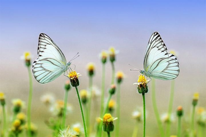 Las mariposas contribuyen a la polinización