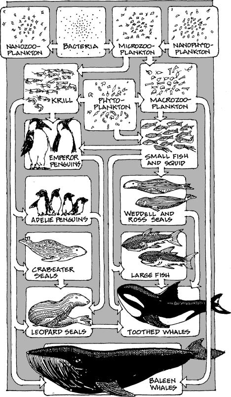 La red alimenticia dependiente del fitoplancton