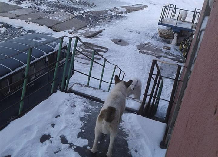 Un perro observa a uno de los osos polares que invadieron la ciudad rusa