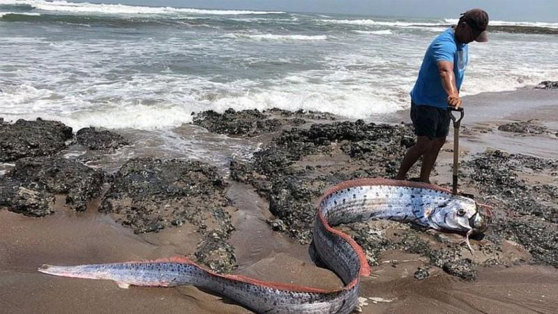 Temor en Japón por la aparición de tres peces remo, animales que viven normalmente en las profundidades del océano