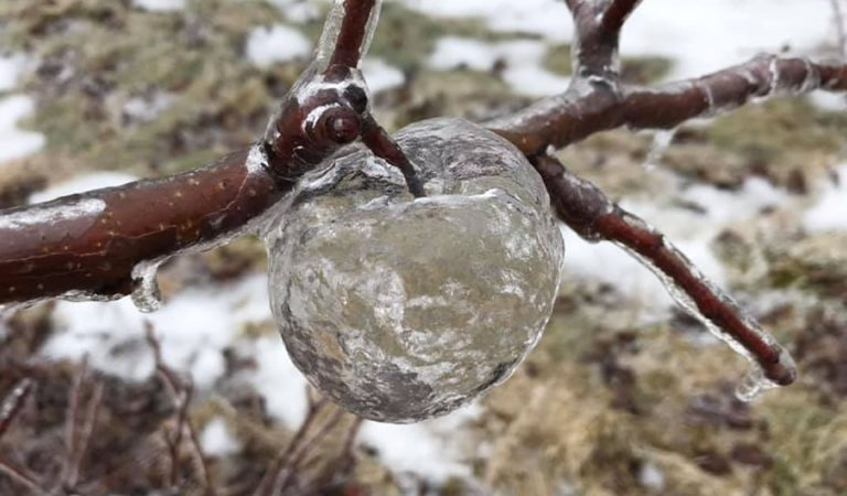 ¿Qué son estas «manzanas fantasmas» que cuelgan de los árboles en Michigan?