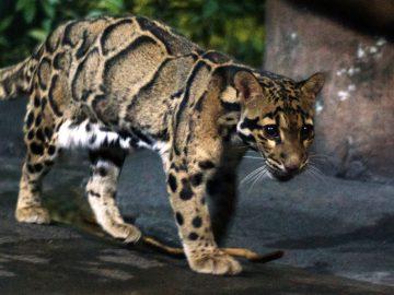 Reaparece en Taiwan un leopardo que creía extinto hace muchos años