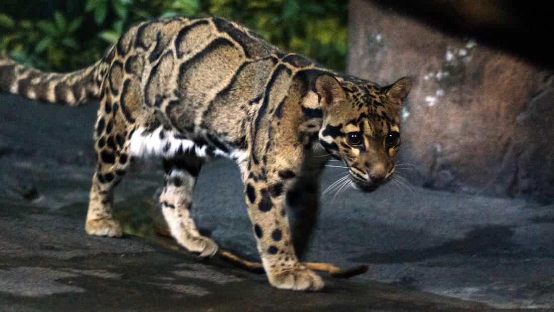 Reaparece en Taiwan un leopardo que se creía extinto hace muchos años