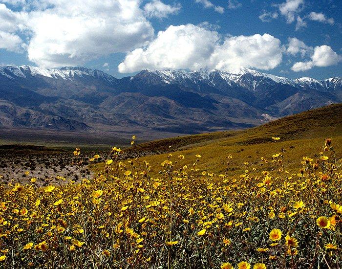 Flores silvestres que florecieron en el Valle de la Muerte en 2005
