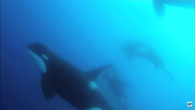 La nueva especie de ballenas avistadas