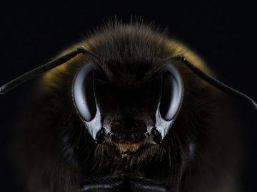 Abejas desaparecen de una cuarta parte de hábitats del Reino Unido