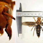 Aparece una nueva especie de avispa gigante asesina en Asia y es la más grande del mundo