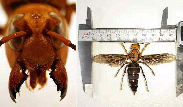 Aparece una nueva especie de avispa «gigante» asesina en Asia y es la más grande del mundo