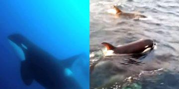 Aparece una nueva especie de ballena asesina al sur de Chile