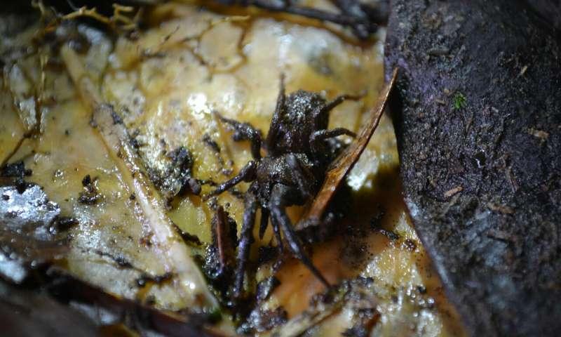 Una de las especies de arañas calvas Paratropis elicioi descritas en 2015