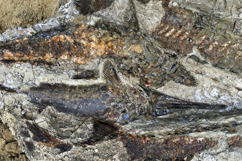 Una masa enmarañada de fósiles de peces articulados descubiertos en Dakota del Norte. El sitio podría datar de hace 66 millones de años, cuando un meteoro golpeó la Tierra, matando a casi toda la vida en el planeta