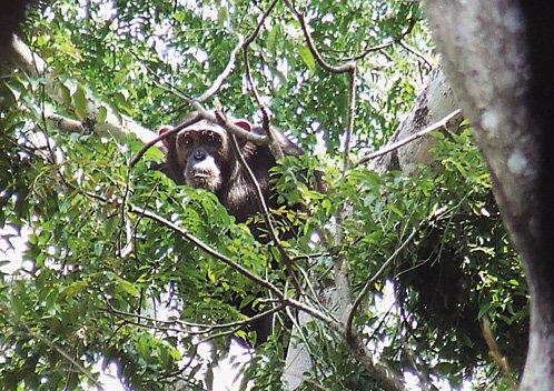 Chimpancé obteniendo insectos de los árboles