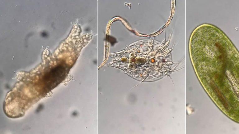 Científico revela el mundo microbiano a través de sus microscopio: tardígrados, ciliados y gusanos planos
