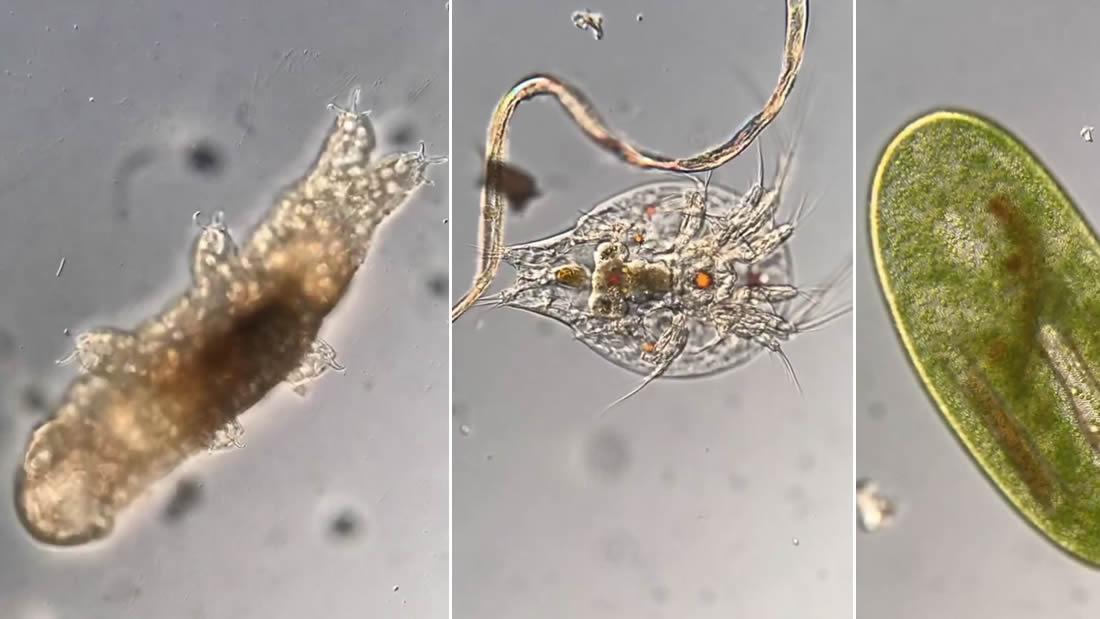Científico revela el mundo microbiano a través de su microscopio: tardígrados, ciliados y gusanos planos