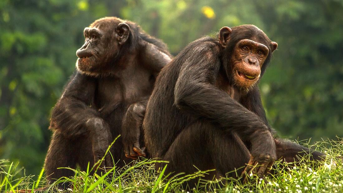 Científicos descubren una «civilización» avanzada de chimpancés