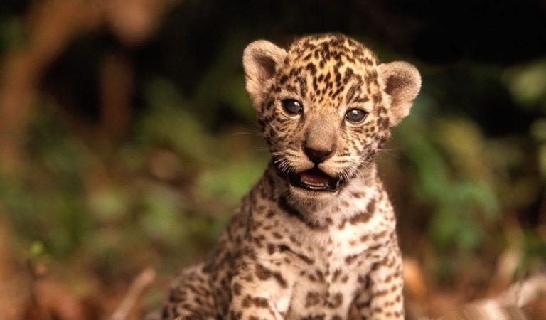 El primer jaguar concebido con inseminación artificial ha nacido