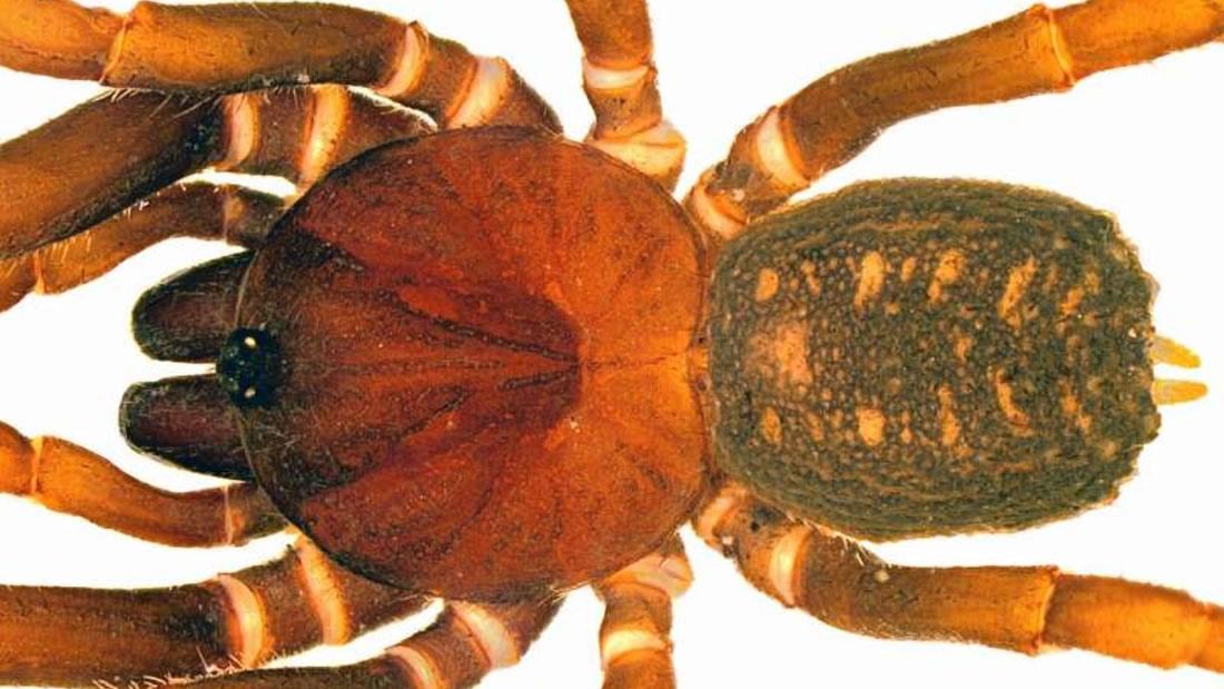 Hallan una nueva especie de araña en Colombia y la denominan en honor a Star Wars