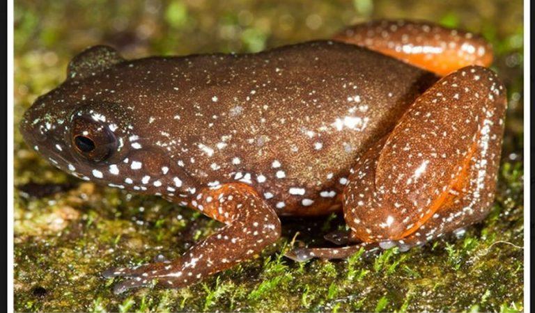 Hallan nueva especie de rana de hace 76 millones de años en la India