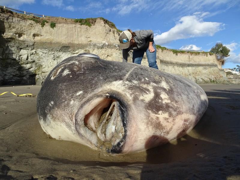 Jessica Nielsen, especialista en conservación en Coal Oil Point Reserve, toma muestras de tejido del pez luna que varó en Sands Beach en febrero de 2019