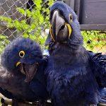 Nace un guacamayo azul y salva a su especie considerada extinta en la naturaleza