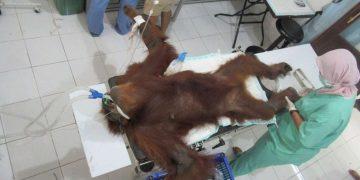 Orangután es rescatada ciega y con 74 proyectiles en el cuerpo en una plantación de aceite de palma