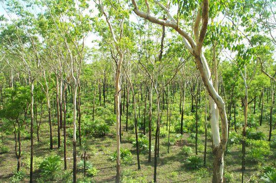 Reforestación en la sabana australiana