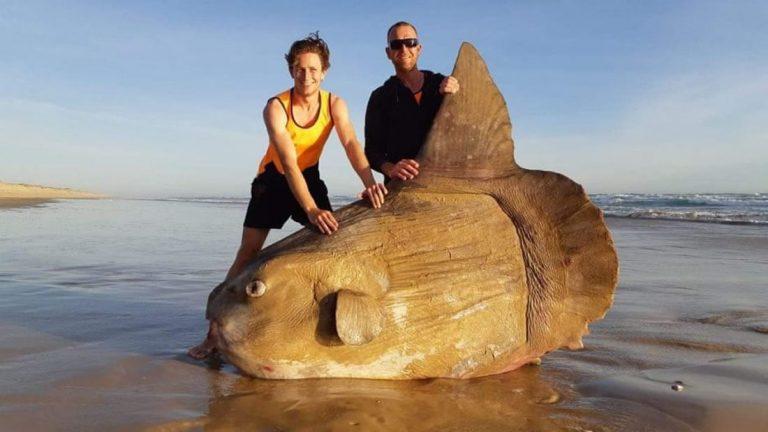 Un pez gigantesco queda varado en una playa de Australia