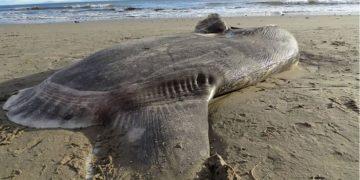 Un raro pez del hemisferio sur aparece en Santa Bárbara, California