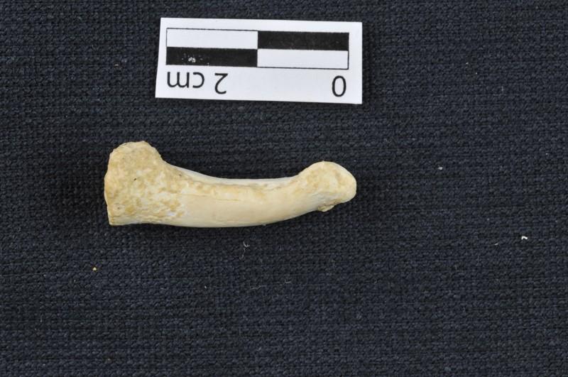Hueso del pie del Homo luzonensis