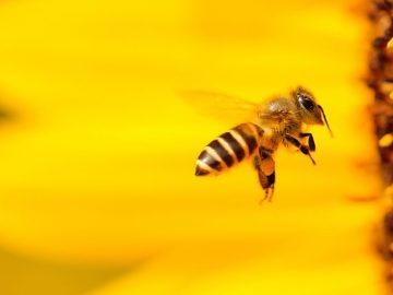 Abejas expuestas a un pesticida se vuelven hiperactivas antes de estrellarse