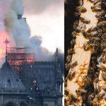 Abejas que vivían en las azoteas de Notre Dame sobreviven al incendio