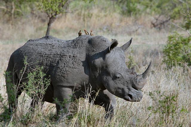 El cazador ahora muerto se encontraba tratando de cazar rinocerontes en el Parque Nacional Kruger