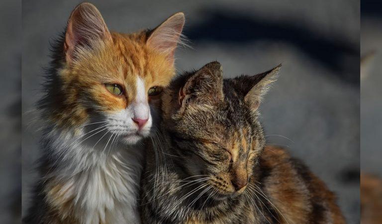 Australia está exterminando gatos salvajes y planean eliminar dos millones de felinos