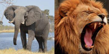 Cazador furtivo de rinocerontes fue asesinado por un elefante y luego comido por leones en Sudáfrica