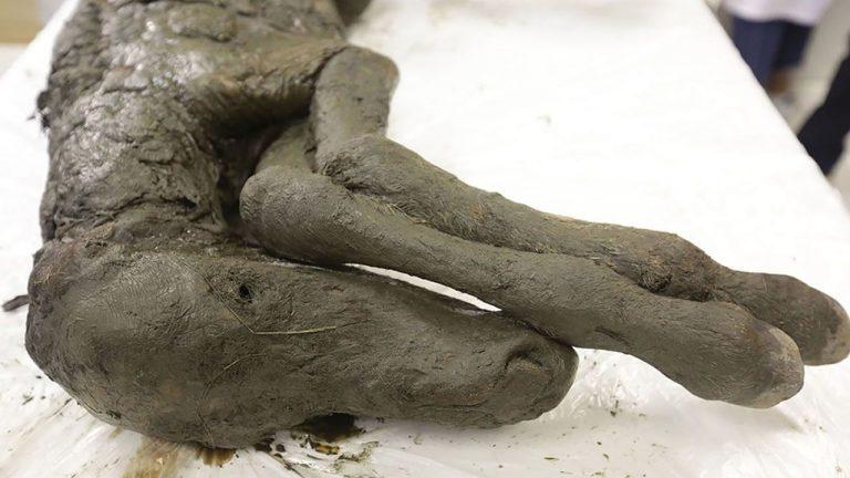 Científicos están «confiados» de poder clonar a un caballo extinto de 42.000 años