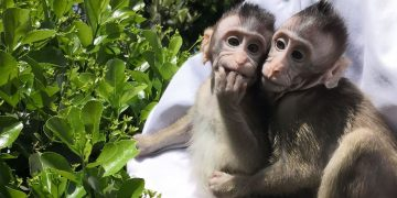 Crean monos transgénicos con genes de cerebro humano