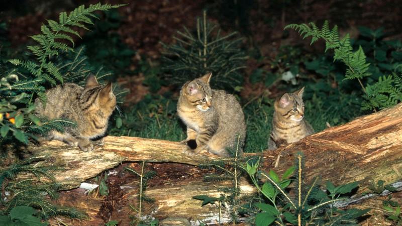 Australia está exterminando gatos salvajes con salchichas envenenadas