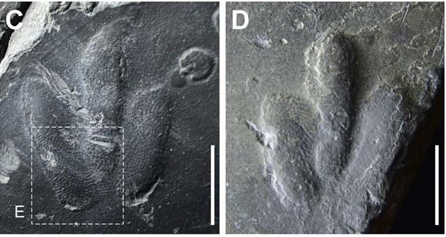 Impresiones de piel de dinosaurio halladas