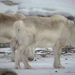 Renos de Svalbard en Noruega están tan hambrientos que han comenzado a comer algas